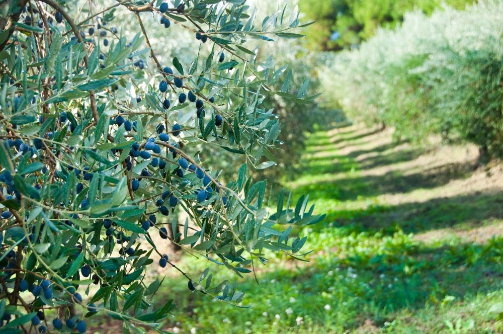 Cuidado del olivar